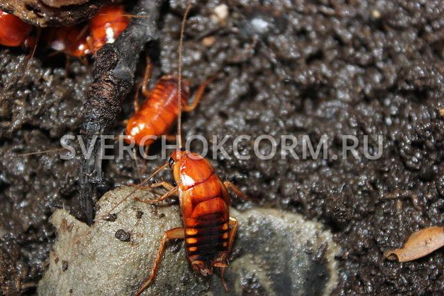 Нимфы туркменского таракана