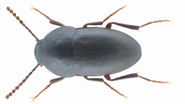 Медляк зерновой или чернотелка дерновая (Crypticus quisquilius)