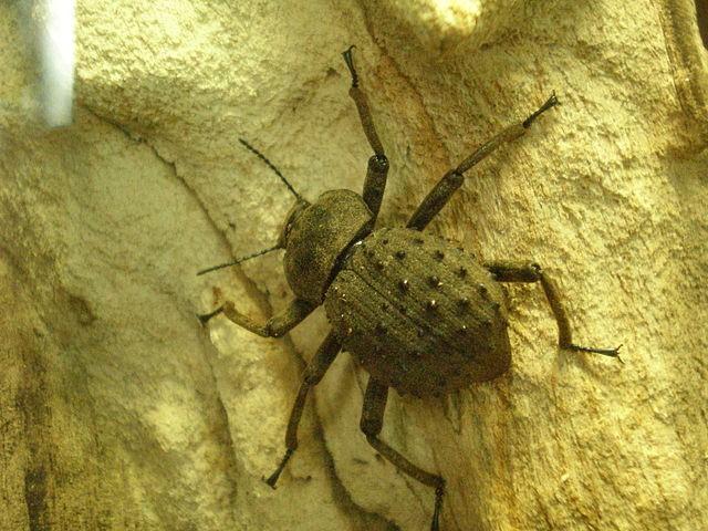 Чернотелка острова Фрегат (Polposipus herculeanus)