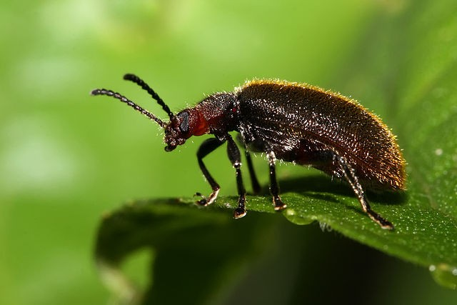 Lagria sp. (Lagriinae), Танзания