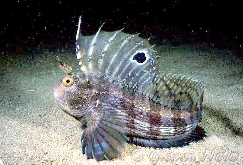 Морская собачка-бабочка