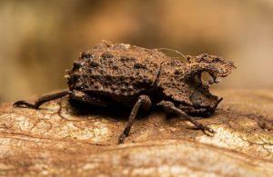 Bolitotherus cornntns