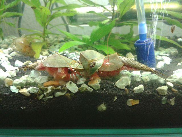 Щитни в аквариуме