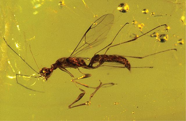 Самка вымершей осы в янтаре