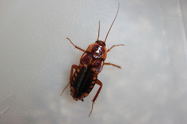 Взрослая самка туркменского таракана