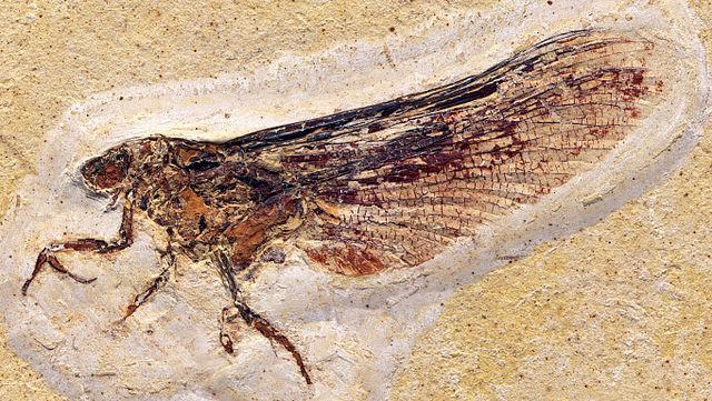 Mickoleitia longimanus
