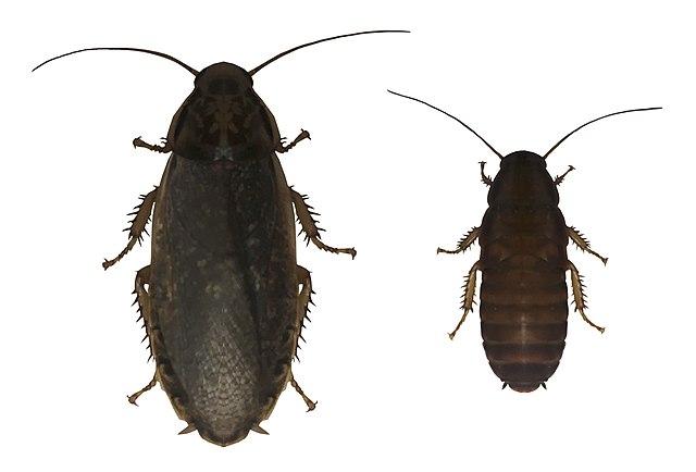 Самка и самец мраморного таракана