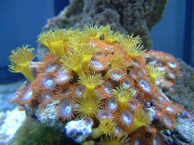 Шестилучевые кораллы