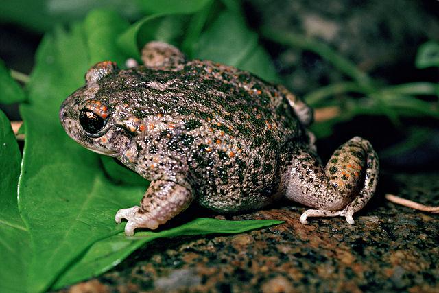 Иберийская жаба-повитуха