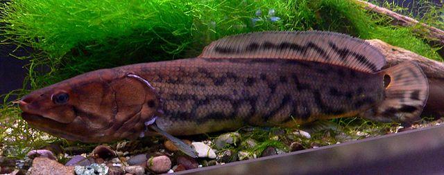 Амия (ильная рыба)