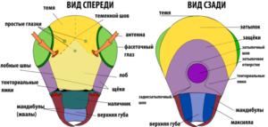 Строение головы насекомого