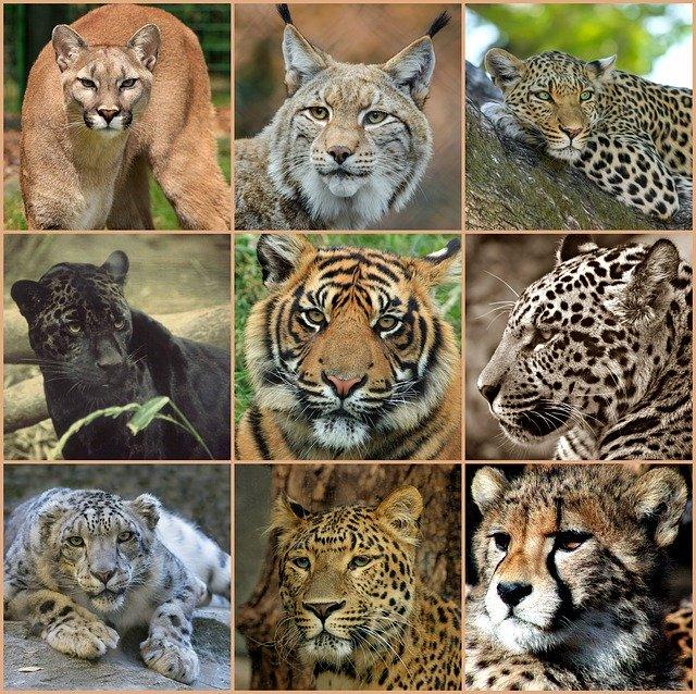 Представители кошачьих