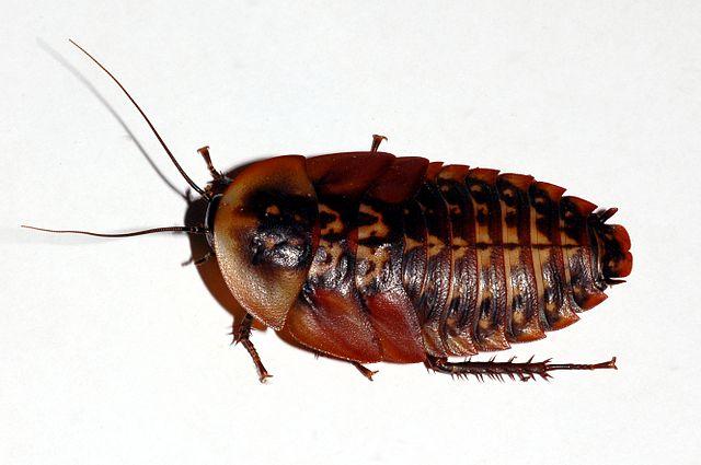 Личинка кранифера