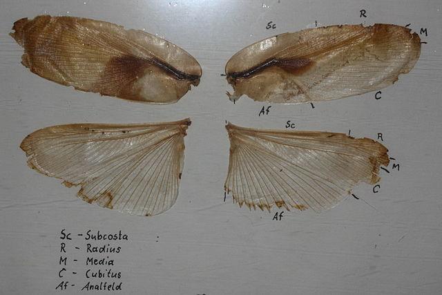 Крылья кранифера