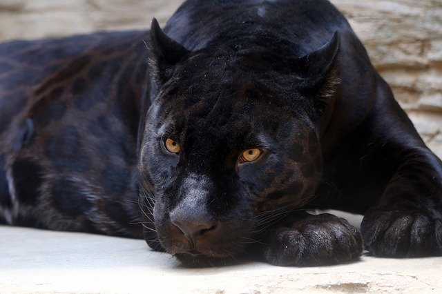 Ягуар-меланист (черная пантера)