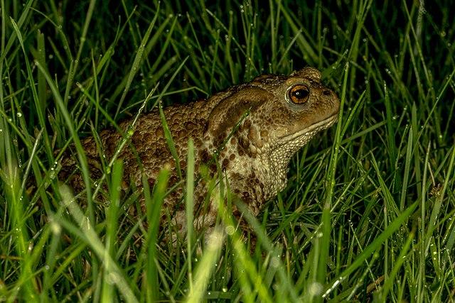 Обыкновенная (серая) жаба
