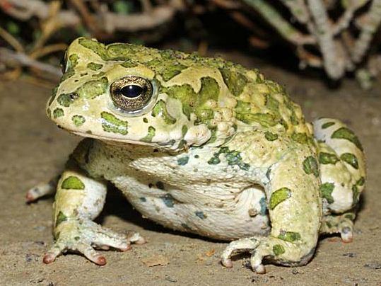 Среднеазиатская жаба
