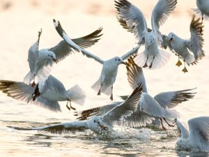Буроголовые чайки дерутся за рыбу