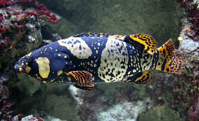 Индоокеанский малоглазый групер