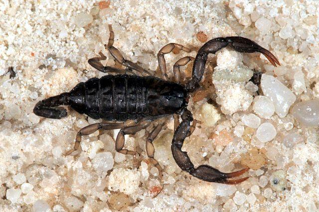 Итальянский скорпион (Euscorpius italicus)