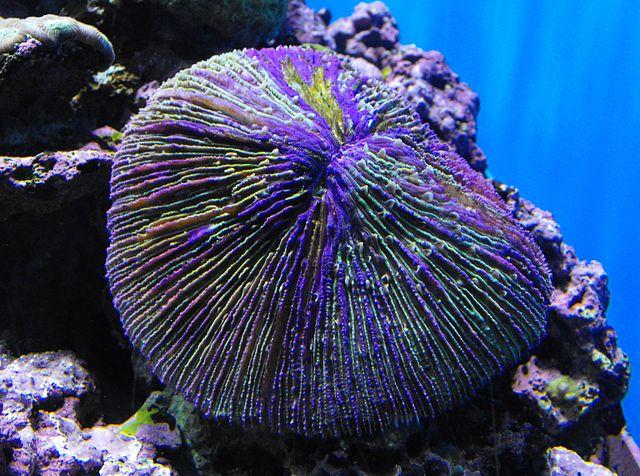 Грибовидный коралл