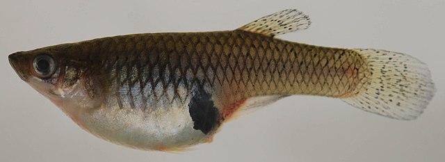 Гамбрузия Хольбрука