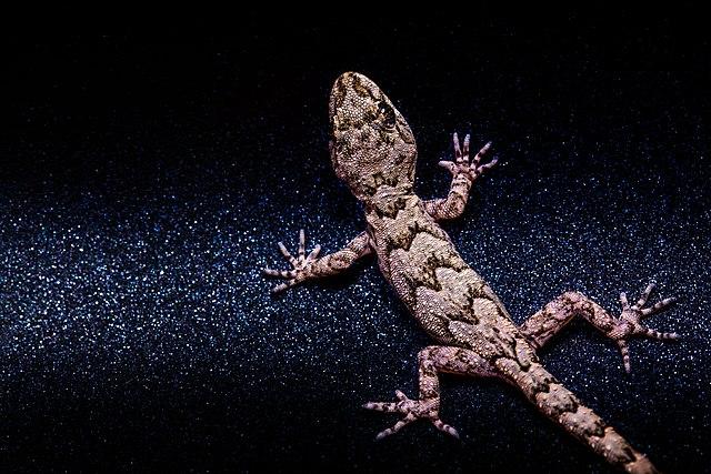Средиземноморский тонкопалый геккон