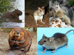 Разные виды грызунов