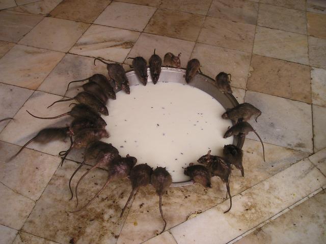 Крысы в индийском храме