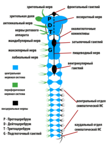 Нервная система насекомого