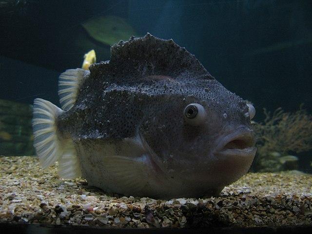 Пинагор (рыба-воробей)