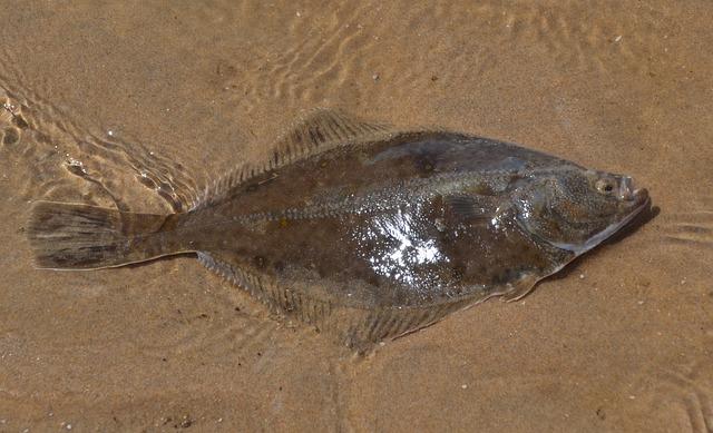 Речная камбала (Platichthys flesus)
