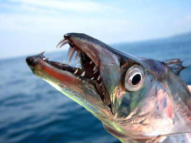 Обыкновенная рыба-сабля