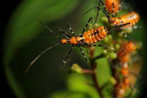 Личинки клопа Leptoglossus clypealis