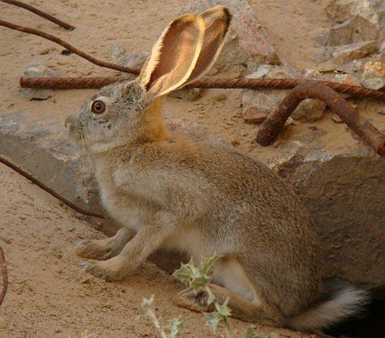 Заяц-толай