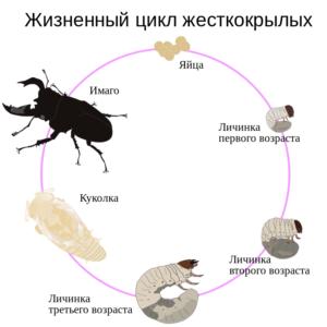 Полное развитие: жук-олень