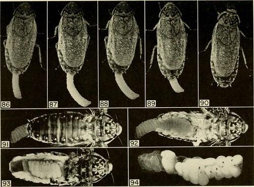 Самка мраморного таракана с оотекой