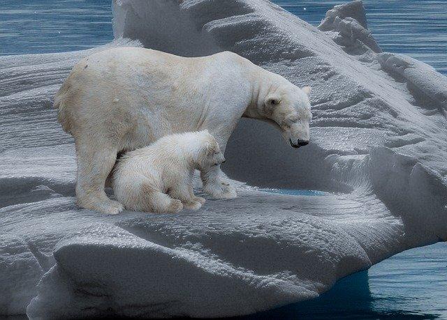 Самка белого медведя с медвежонком