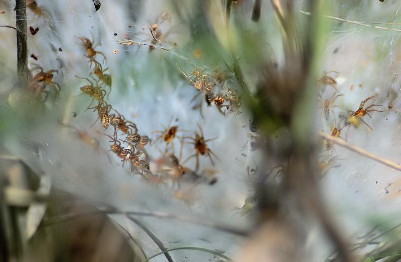 Социальные пауки