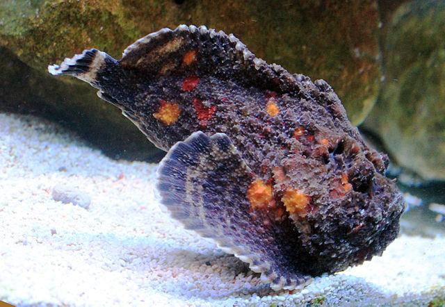 Бородавчатка (рыба-камень)