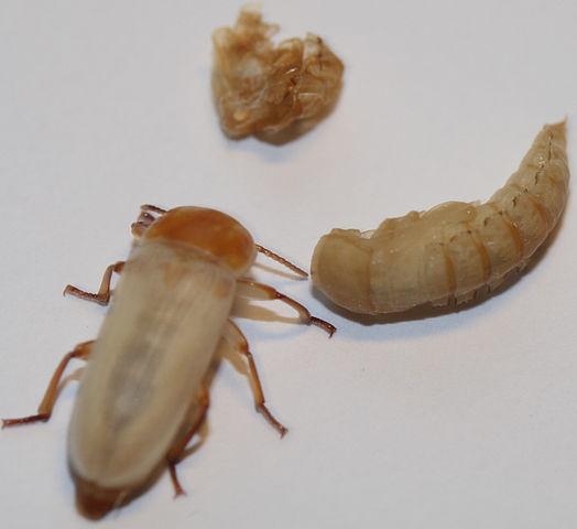 Недавно вылупившийся жук, его экзувий и предкуколка