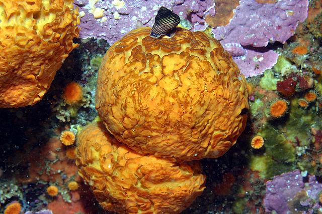 Морской апельсин (Tethya aurantium)