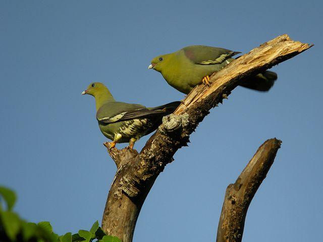 Мадагаскарский зеленый голубь