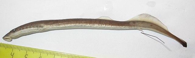 Минога украинская (Eudontomyzon mariae)