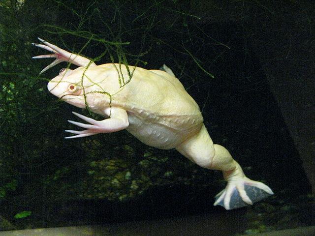Гладкая шпорцевая лягушка, альбинос