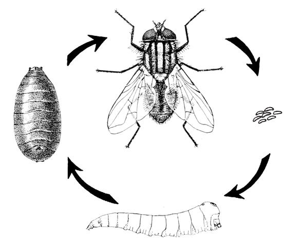 Развитие комнатной мухи