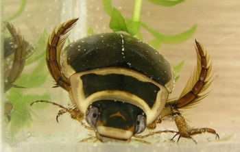 Корм для жука-плавунца