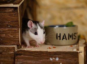 Лакомства для крыс