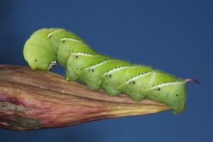 Гусеницы табачного бражника