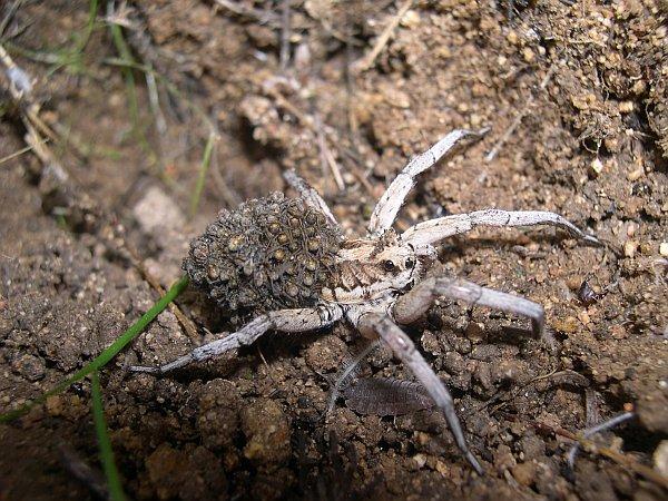 Самка апулийского тарантула